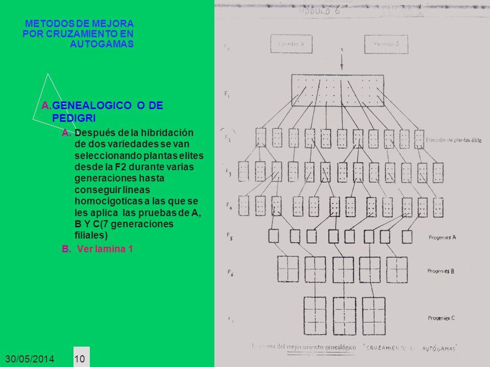 30/05/2014 10 METODOS DE MEJORA POR CRUZAMIENTO EN AUTOGAMAS A.GENEALOGICO O DE PEDIGRI A.Después de la hibridación de dos variedades se van seleccion
