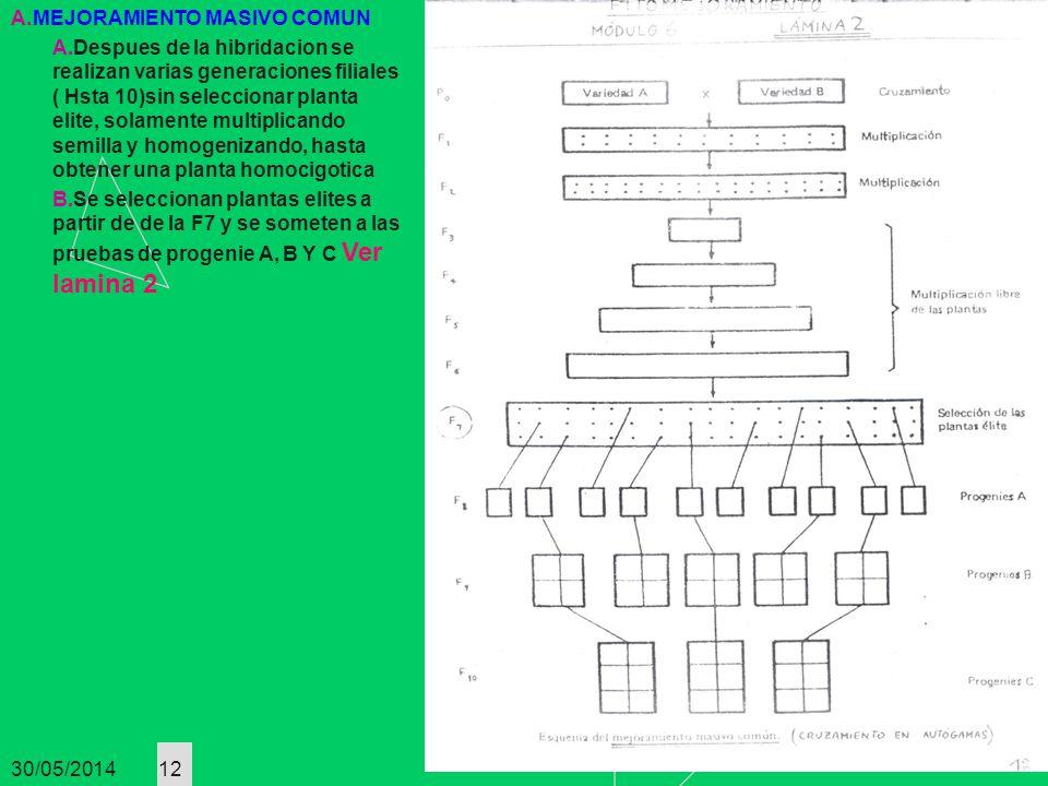 30/05/2014 12 A.MEJORAMIENTO MASIVO COMUN A.Despues de la hibridacion se realizan varias generaciones filiales ( Hsta 10)sin seleccionar planta elite,