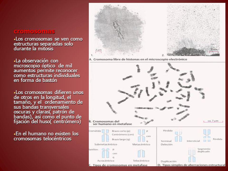 cromosomas Los cromosomas se ven como estructuras separadas solo durante la mitosis Los cromosomas se ven como estructuras separadas solo durante la mitosis La observación con microscopio óptico de mil aumentos permite reconocer como estructuras individuales en forma de bastón La observación con microscopio óptico de mil aumentos permite reconocer como estructuras individuales en forma de bastón Los cromosomas difieren unos de otros en la longitud, el tamaño, y el ordenamiento de sus bandas transversales oscuras y claras( patrón de bandas), así como el punto de fijación del huso( centrómero) Los cromosomas difieren unos de otros en la longitud, el tamaño, y el ordenamiento de sus bandas transversales oscuras y claras( patrón de bandas), así como el punto de fijación del huso( centrómero) En el humano no existen los cromosomas telocéntricos En el humano no existen los cromosomas telocéntricos