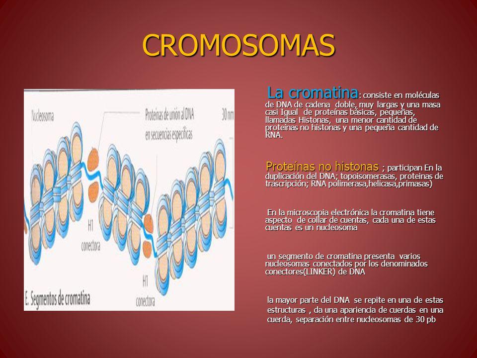 CROMOSOMAS La cromatina : consiste en moléculas de DNA de cadena doble, muy largas y una masa casi Igual de proteínas básicas, pequeñas, llamadas Histonas, una menor cantidad de proteínas no histonas y una pequeña cantidad de RNA.