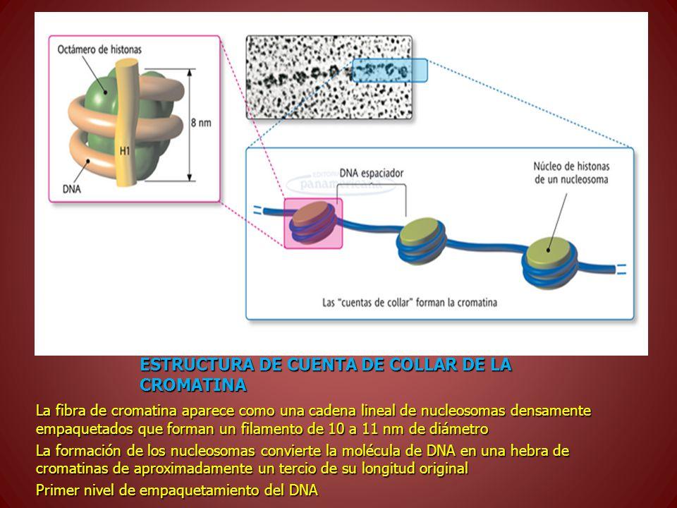 ESTRUCTURA DE CUENTA DE COLLAR DE LA CROMATINA La fibra de cromatina aparece como una cadena lineal de nucleosomas densamente empaquetados que forman un filamento de 10 a 11 nm de diámetro La formación de los nucleosomas convierte la molécula de DNA en una hebra de cromatinas de aproximadamente un tercio de su longitud original Primer nivel de empaquetamiento del DNA