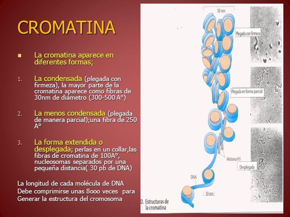 CROMATINA La cromatina aparece en diferentes formas; La cromatina aparece en diferentes formas; 1. La condensada (plegada con firmeza), la mayor parte