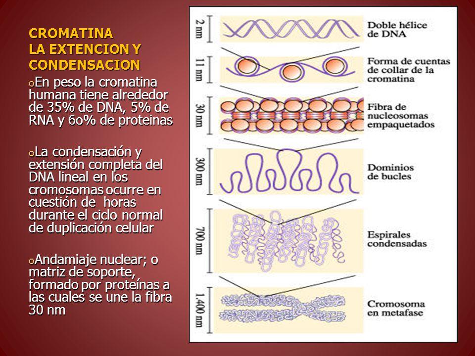 CROMATINA LA EXTENCION Y CONDENSACION o En peso la cromatina humana tiene alrededor de 35% de DNA, 5% de RNA y 6o% de proteinas o La condensación y extensión completa del DNA lineal en los cromosomas ocurre en cuestión de horas durante el ciclo normal de duplicación celular o Andamiaje nuclear; o matriz de soporte, formado por proteínas a las cuales se une la fibra 30 nm