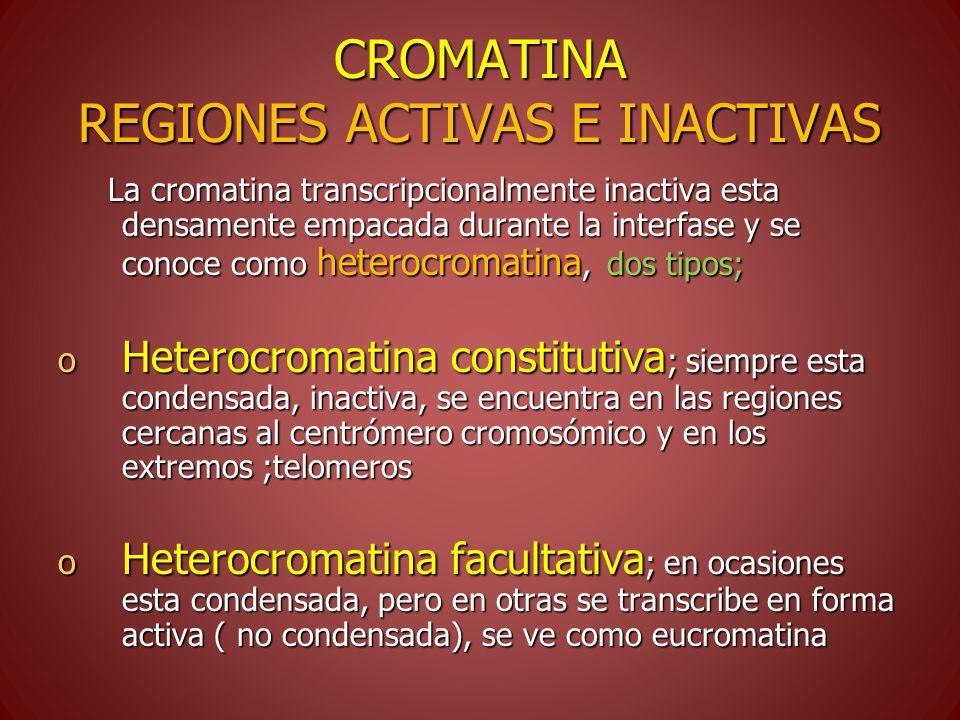 CROMATINA REGIONES ACTIVAS E INACTIVAS La cromatina transcripcionalmente inactiva esta densamente empacada durante la interfase y se conoce como heterocromatina, dos tipos; La cromatina transcripcionalmente inactiva esta densamente empacada durante la interfase y se conoce como heterocromatina, dos tipos; o Heterocromatina constitutiva ; siempre esta condensada, inactiva, se encuentra en las regiones cercanas al centrómero cromosómico y en los extremos ;telomeros o Heterocromatina facultativa ; en ocasiones esta condensada, pero en otras se transcribe en forma activa ( no condensada), se ve como eucromatina