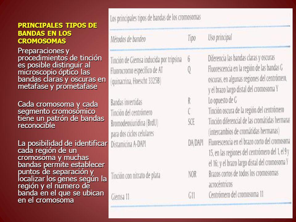 PRINCIPALES TIPOS DE BANDAS EN LOS CROMOSOMAS Preparaciones y procedimientos de tinción es posible distinguir al microscopio óptico las bandas claras y oscuras en metafase y prometafase Cada cromosoma y cada segmento cromosómico tiene un patrón de bandas reconocible La posibilidad de identificar cada región de un cromosoma y muchas bandas permite establecer puntos de separación y localizar los genes según la región y el numero de banda en el que se ubican en el cromosoma