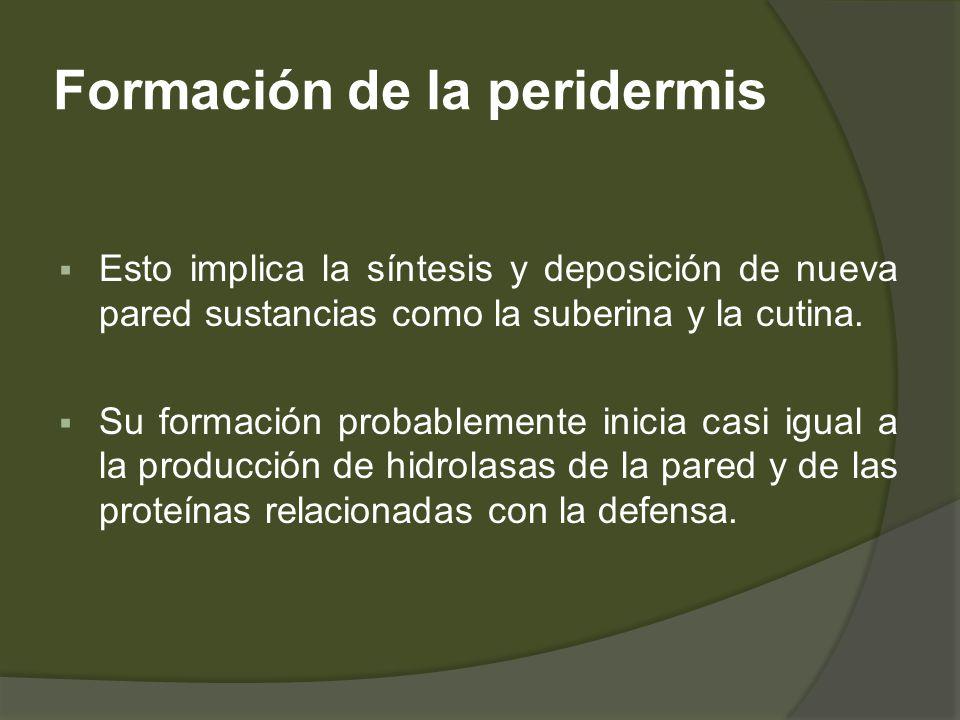 Formación de la peridermis Esto implica la síntesis y deposición de nueva pared sustancias como la suberina y la cutina. Su formación probablemente in