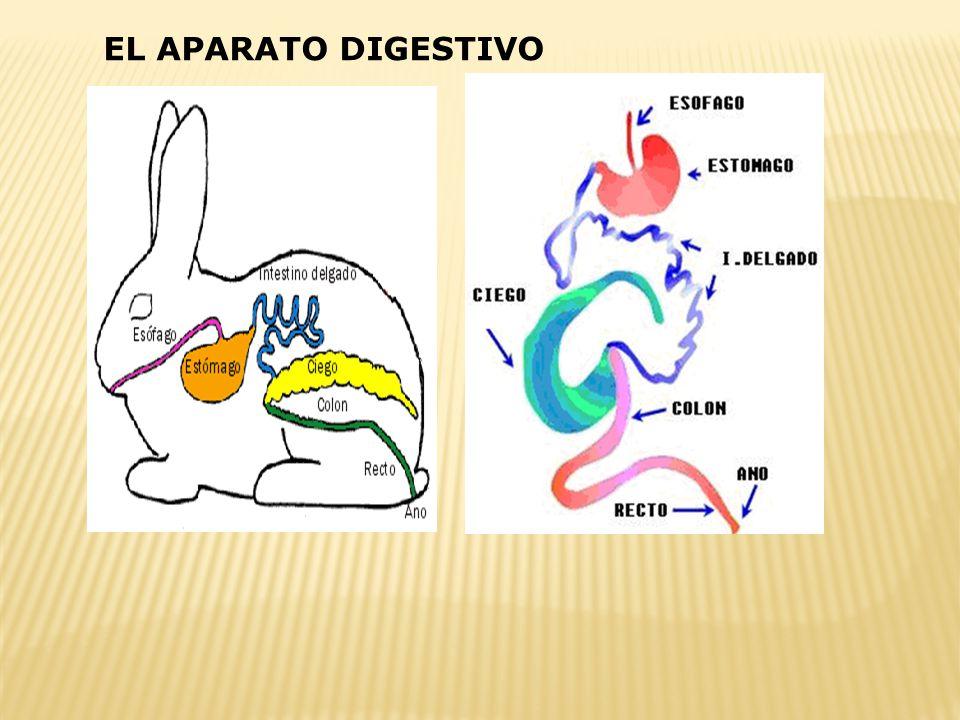 Madurez sexual Machos 5-6 meses Hembras 4-5 meses Época de reproducción Todo el año Tipo de ovulaciónInducida por la cópula Duración de la gestación 3