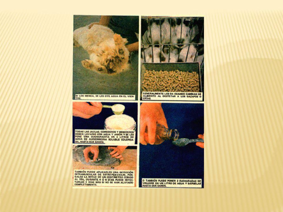 b) Sarna de las uñas: Síntomas: manoteo constante, en su estado incipiente aparece una especie de descamaciones alrededor de las uñas; en estado avanz