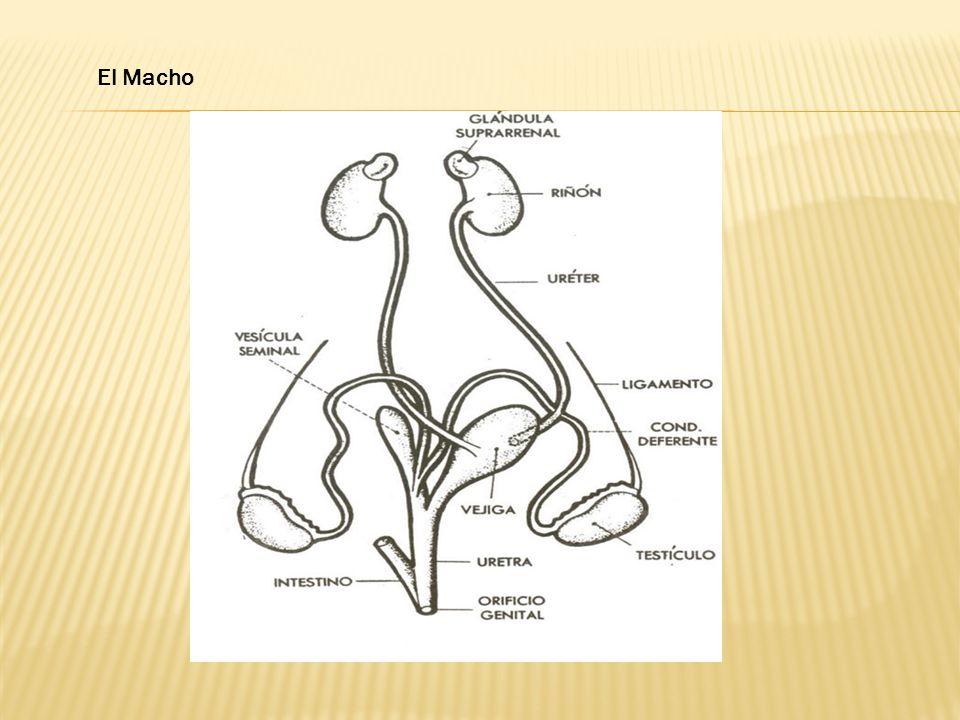 Lesiones típicas: el intestino se encuentra hemorrágico, con abundante líquido; cuando es del hígado, este presenta hipertrofia y obstrucción de los canales hepáticos.