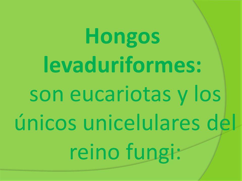 Hongos levaduriformes: son eucariotas y los únicos unicelulares del reino fungi: