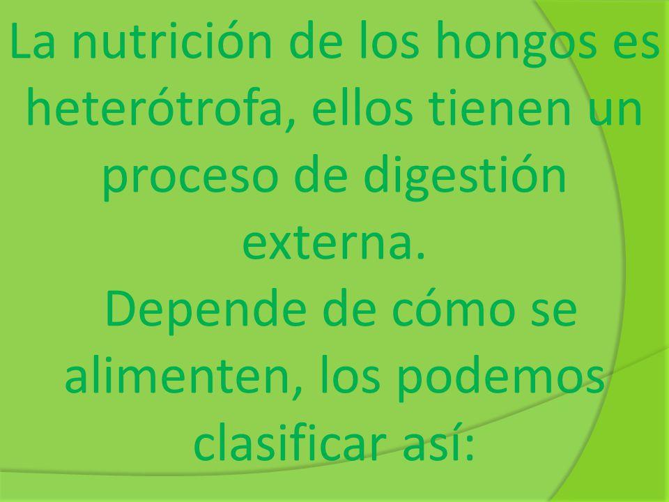 La nutrición de los hongos es heterótrofa, ellos tienen un proceso de digestión externa. Depende de cómo se alimenten, los podemos clasificar así: