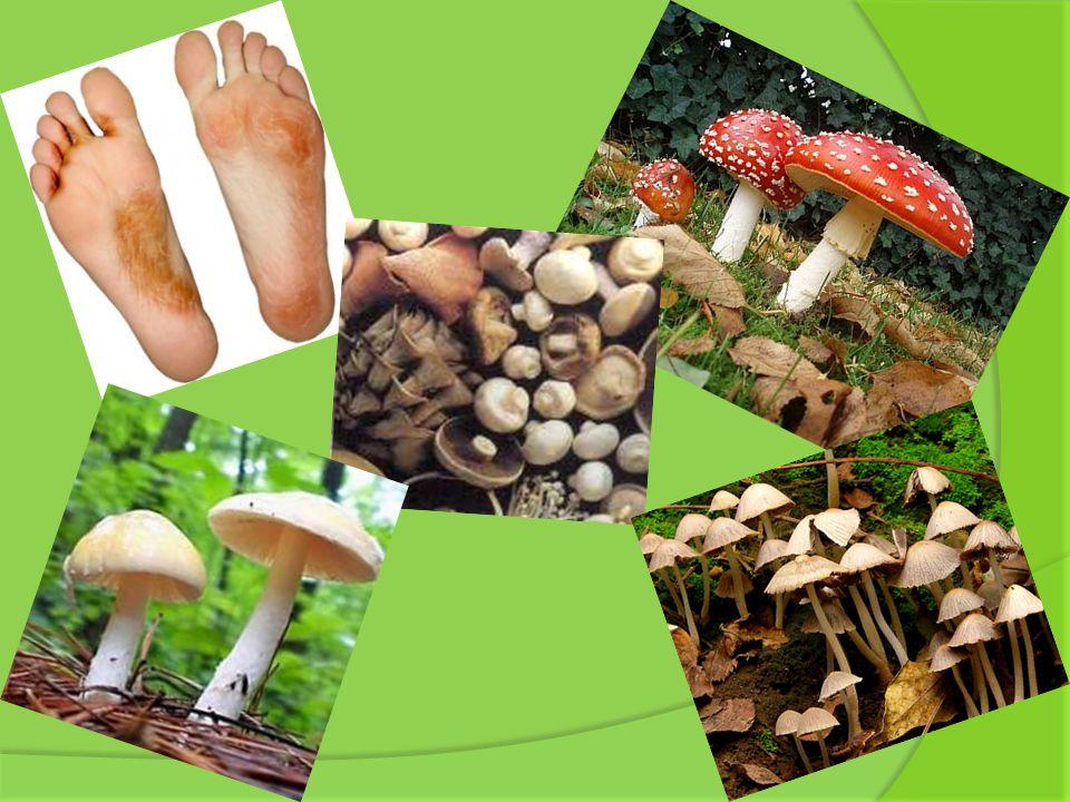 Hongos Filamentosos: están formados por filamentos y se clasifican en: