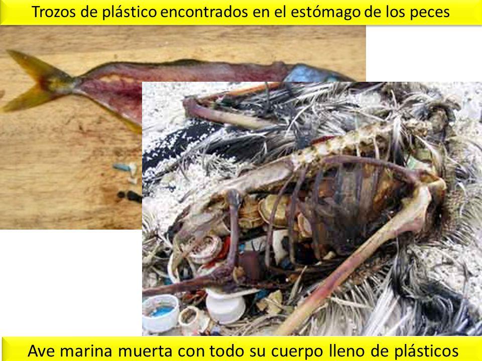 Trozos de plástico encontrados en el estómago de los peces Ave marina muerta con todo su cuerpo lleno de plásticos