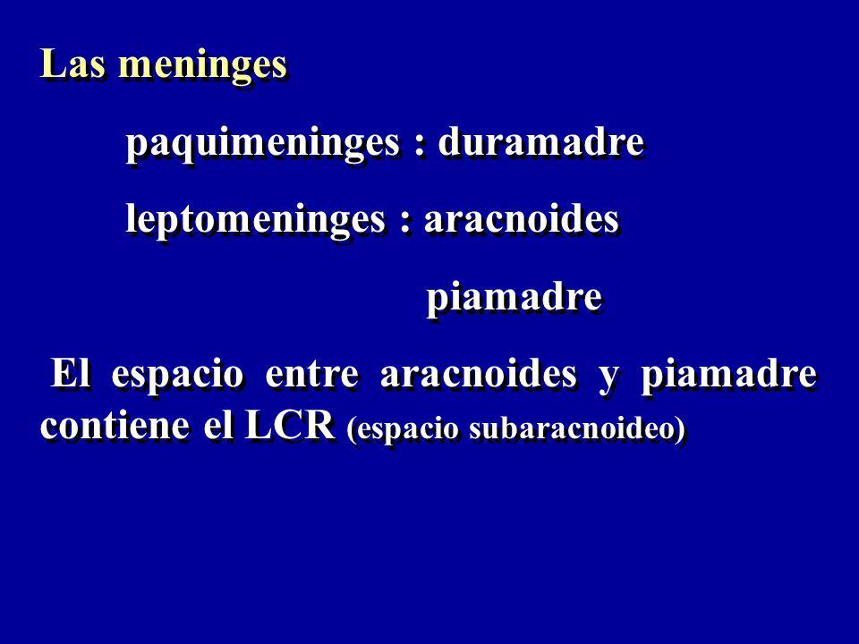 Las meninges paquimeninges : duramadre leptomeninges : aracnoides piamadre El espacio entre aracnoides y piamadre contiene el LCR (espacio subaracnoid