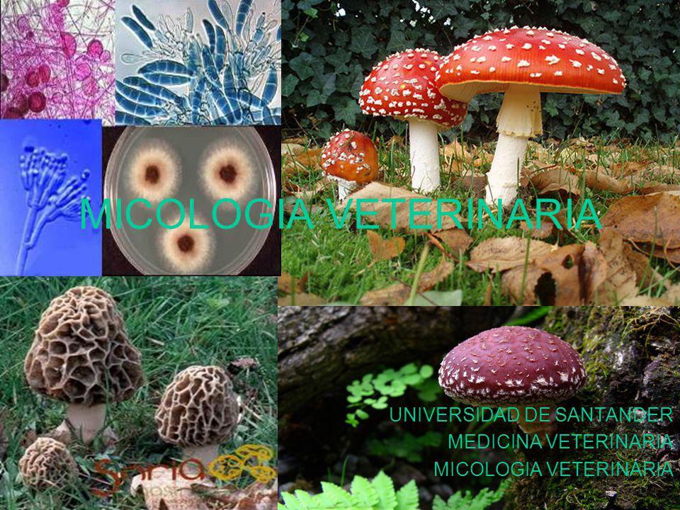 MICOLOGIA VETERINARIA UNIVERSIDAD DE SANTANDER MEDICINA VETERINARIA MICOLOGIA VETERINARIA