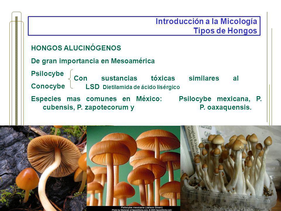 Introducción a la Micología Tipos de Hongos HONGOS ALUCINÓGENOS De gran importancia en Mesoamérica Psilocybe Conocybe Especies mas comunes en México: