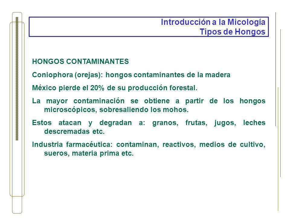 Introducción a la Micología Tipos de Hongos HONGOS CONTAMINANTES Coniophora (orejas): hongos contaminantes de la madera México pierde el 20% de su pro