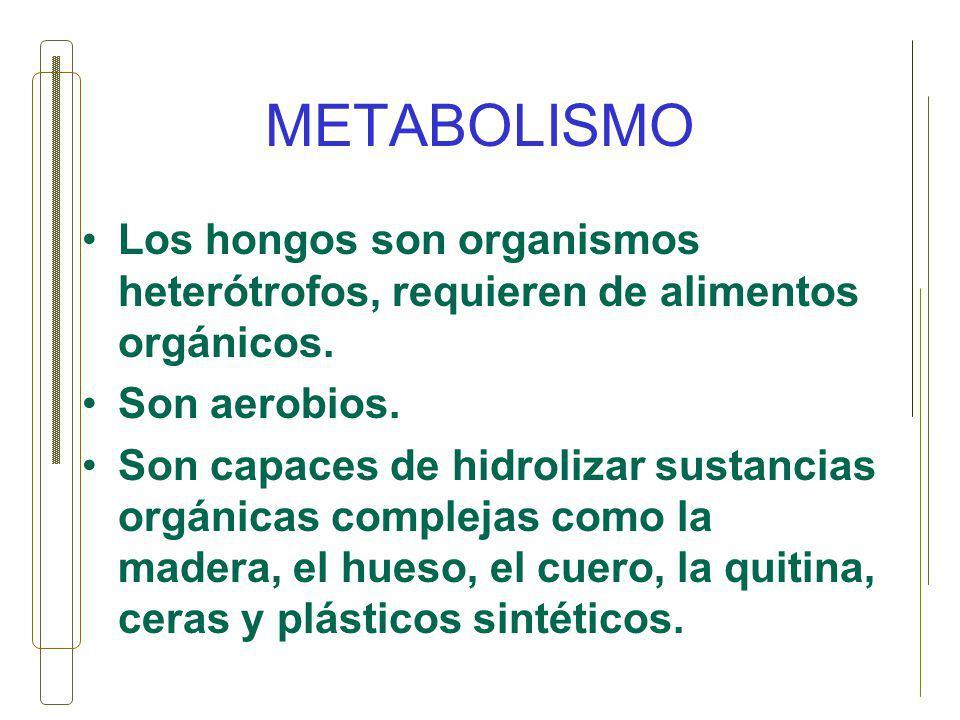 METABOLISMO Los hongos son organismos heterótrofos, requieren de alimentos orgánicos. Son aerobios. Son capaces de hidrolizar sustancias orgánicas com