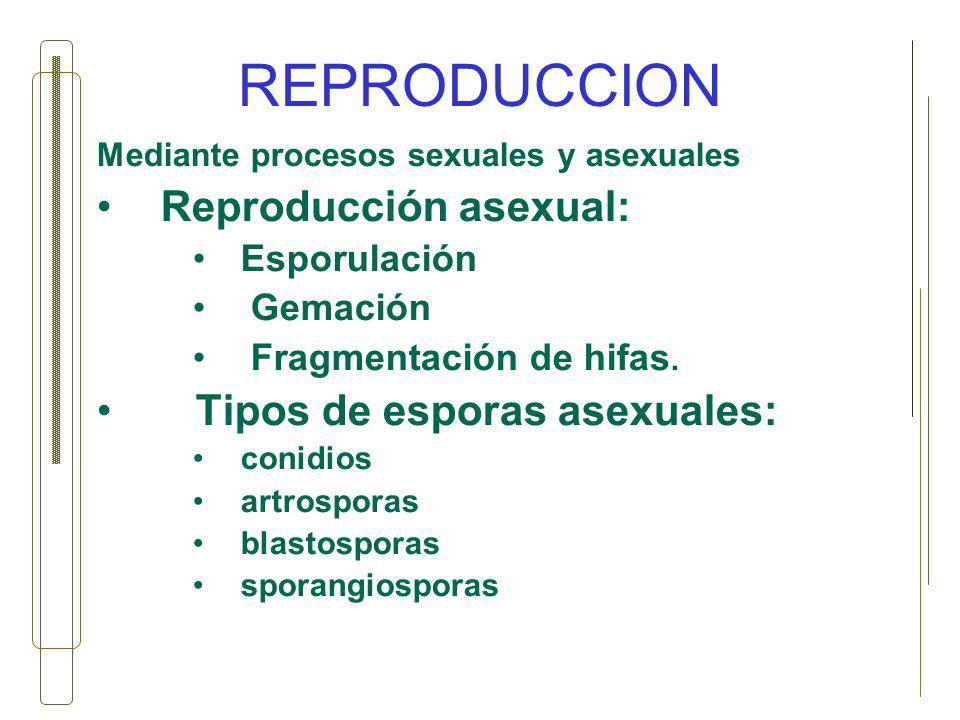 REPRODUCCION Mediante procesos sexuales y asexuales Reproducción asexual: Esporulación Gemación Fragmentación de hifas. Tipos de esporas asexuales: co