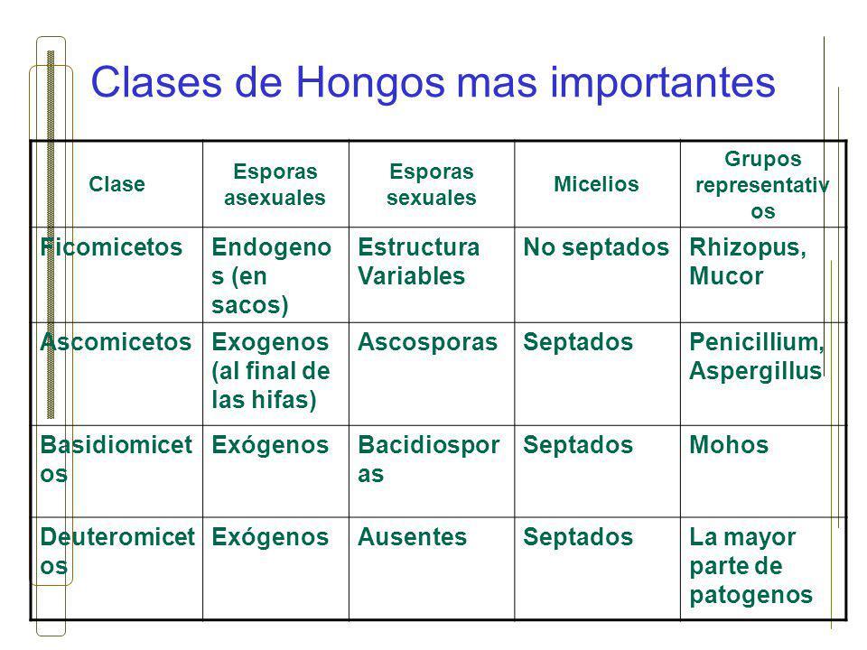Clases de Hongos mas importantes Clase Esporas asexuales Esporas sexuales Micelios Grupos representativ os FicomicetosEndogeno s (en sacos) Estructura