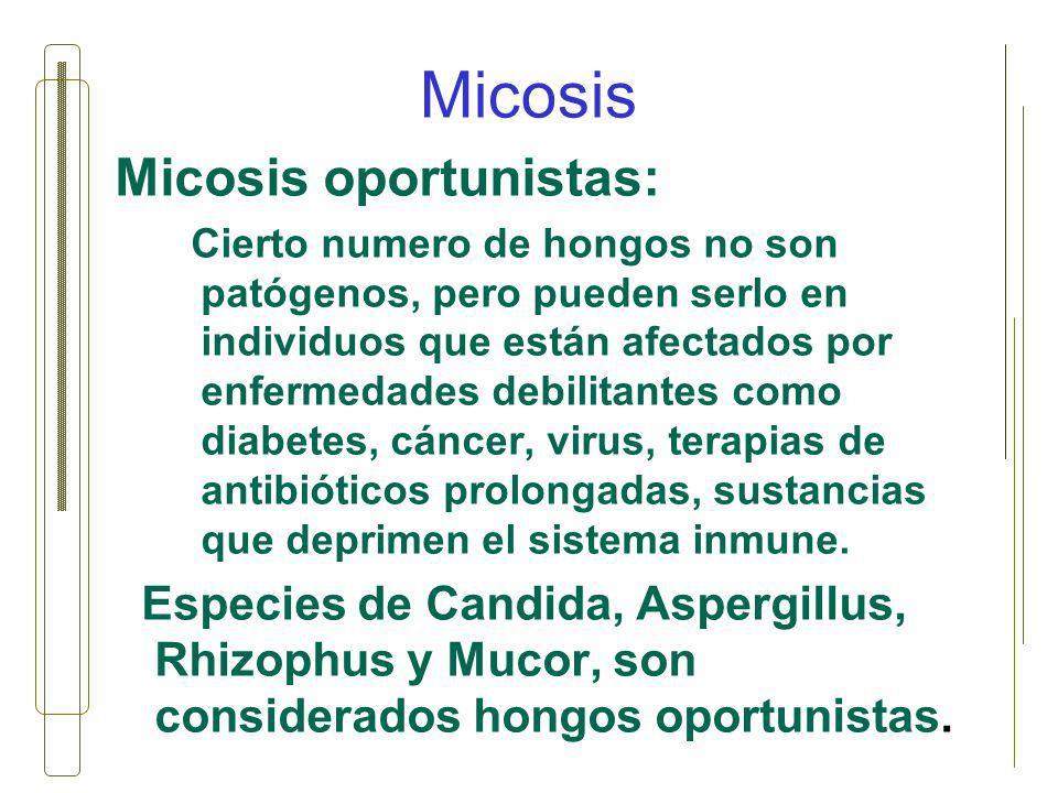 Micosis Micosis oportunistas: Cierto numero de hongos no son patógenos, pero pueden serlo en individuos que están afectados por enfermedades debilitan