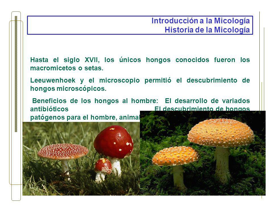 Introducción a la Micología Historia de la Micología Hasta el siglo XVII, los únicos hongos conocidos fueron los macromicetos o setas. Leeuwenhoek y e
