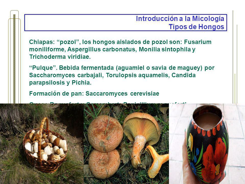 Introducción a la Micología Tipos de Hongos Chiapas: pozol, los hongos aislados de pozol son: Fusarium moniliforme, Aspergillus carbonatus, Monilia si