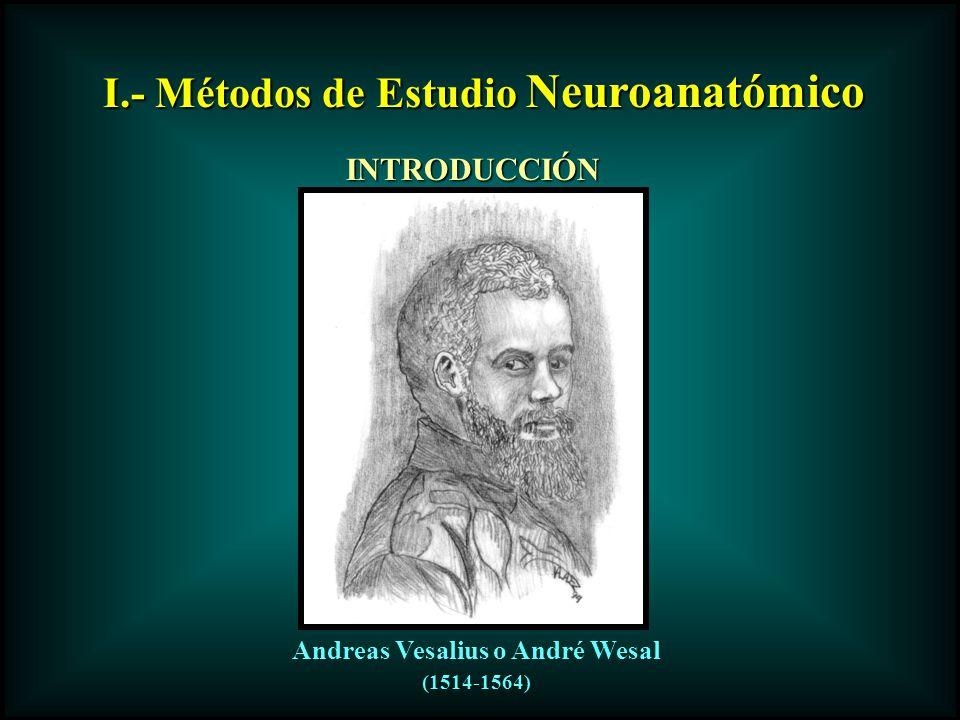 I.- Métodos de Estudio Neuroanatómico INTRODUCCIÓN Andreas Vesalius o André Wesal (1514-1564)