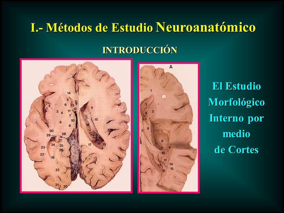 I.- Métodos de Estudio Neuroanatómico INTRODUCCIÓN El Estudio Morfológico Interno por medio de Cortes