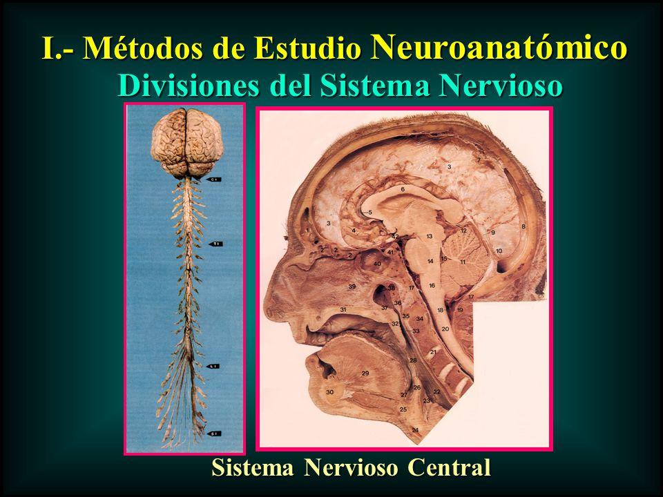 Divisiones del Sistema Nervioso Sistema Nervioso Central