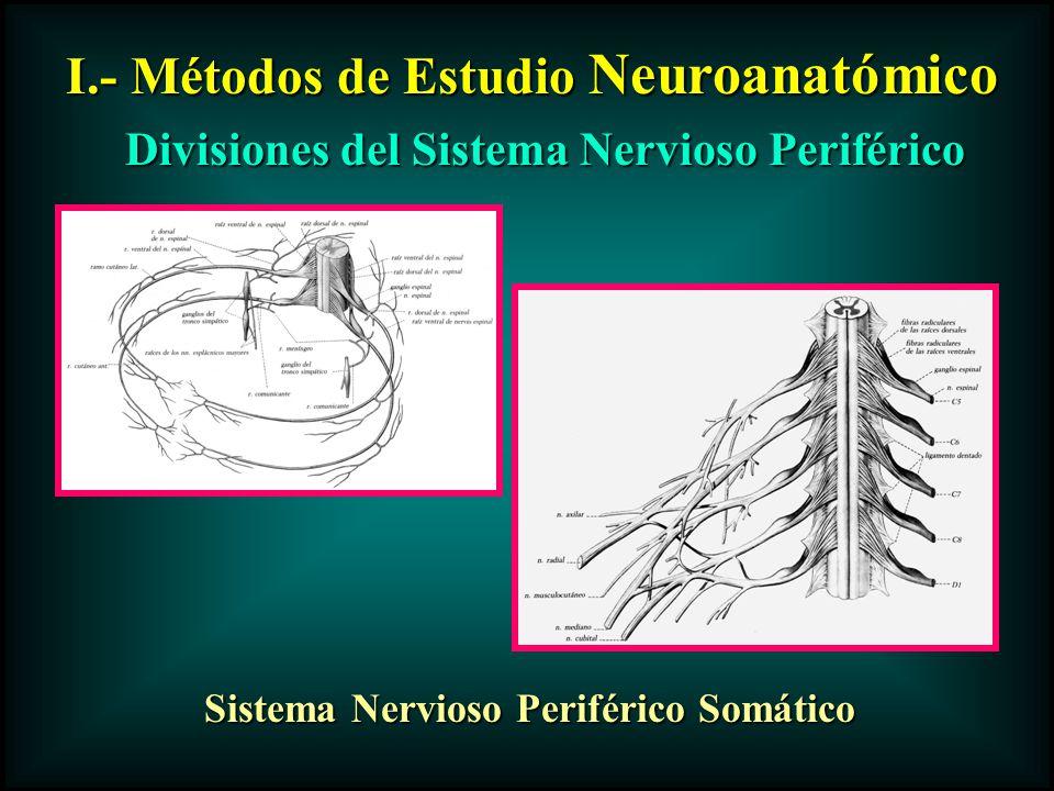I.- Métodos de Estudio Neuroanatómico Divisiones del Sistema Nervioso Periférico Sistema Nervioso Periférico Somático