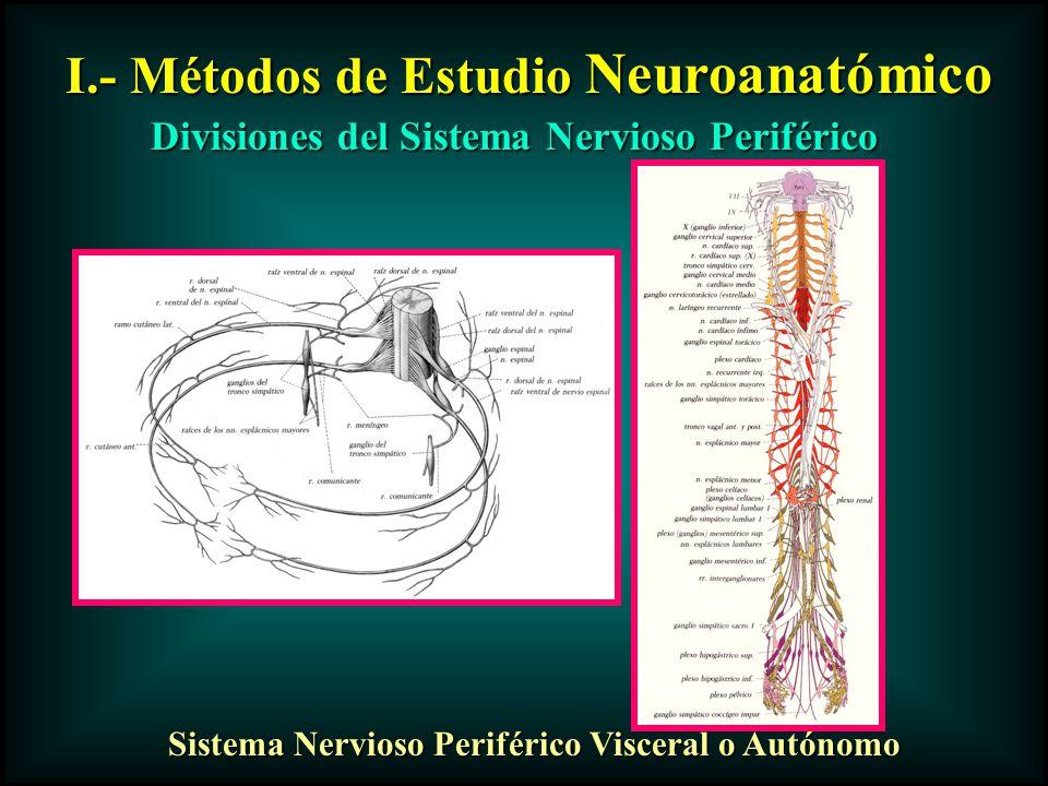 I.- Métodos de Estudio Neuroanatómico Divisiones del Sistema Nervioso Periférico Sistema Nervioso Periférico Visceral o Autónomo
