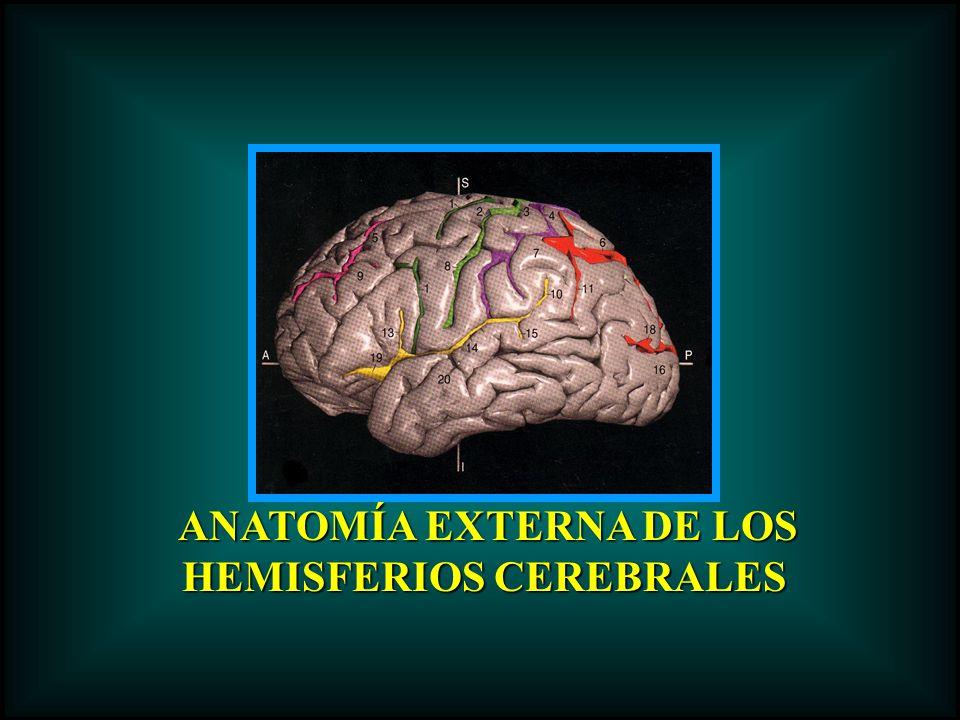 ANATOMÍA EXTERNA DE LOS ANATOMÍA EXTERNA DE LOS HEMISFERIOS CEREBRALES