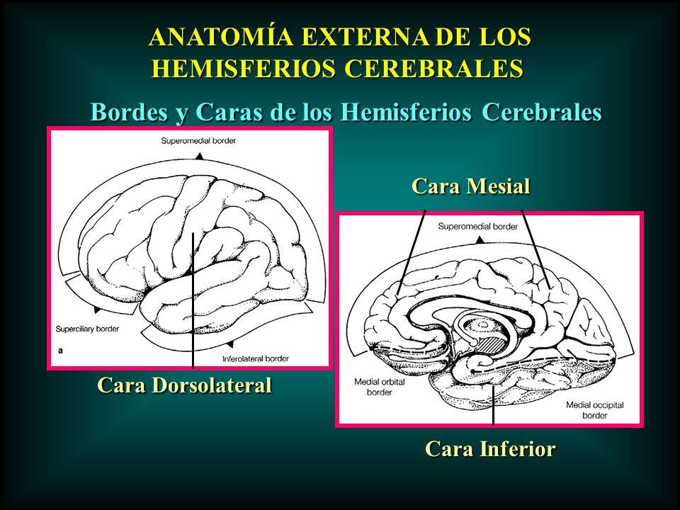 ANATOMÍA EXTERNA DE LOS ANATOMÍA EXTERNA DE LOS HEMISFERIOS CEREBRALES Bordes y Caras de los Hemisferios Cerebrales Cara Dorsolateral Cara Mesial Cara