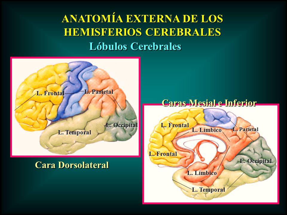 ANATOMÍA EXTERNA DE LOS HEMISFERIOS CEREBRALES Lóbulos Cerebrales Cara Dorsolateral Caras Mesial e Inferior L. Frontal L. Temporal L. Parietal L. Occi