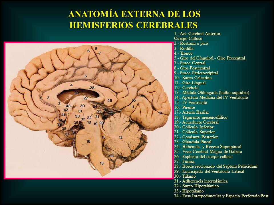 ANATOMÍA EXTERNA DE LOS ANATOMÍA EXTERNA DE LOS HEMISFERIOS CEREBRALES 1.- Art. Cerebral Anterior Cuerpo Calloso 2.- Rostrum o pico 3.- Rodilla 4.- Tr
