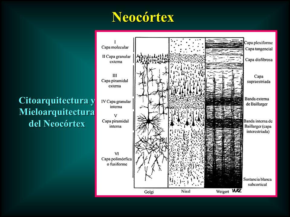 Citoarquitectura y Mieloarquitectura del Neocórtex Neocórtex Neocórtex