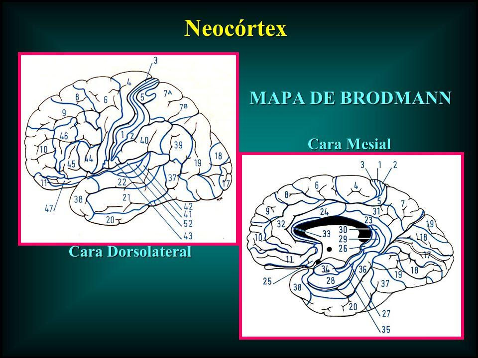 MAPA DE BRODMANN Cara Dorsolateral Cara Mesial Neocórtex Neocórtex
