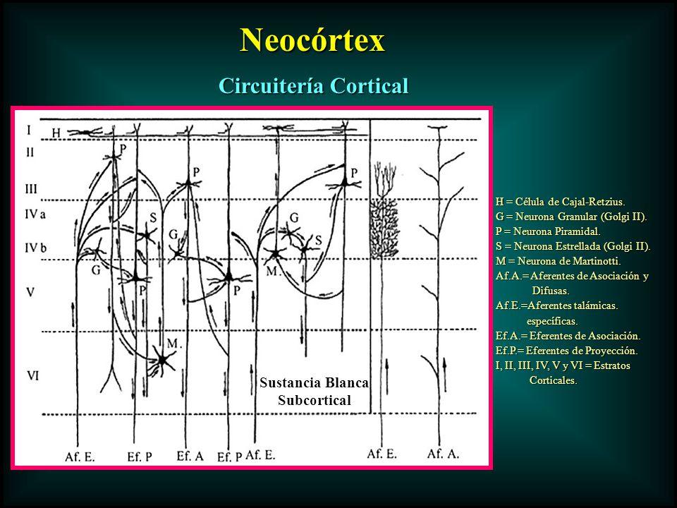 Circuitería Cortical Neocórtex Neocórtex H = Célula de Cajal-Retzius. G = Neurona Granular (Golgi II). P = Neurona Piramidal. S = Neurona Estrellada (