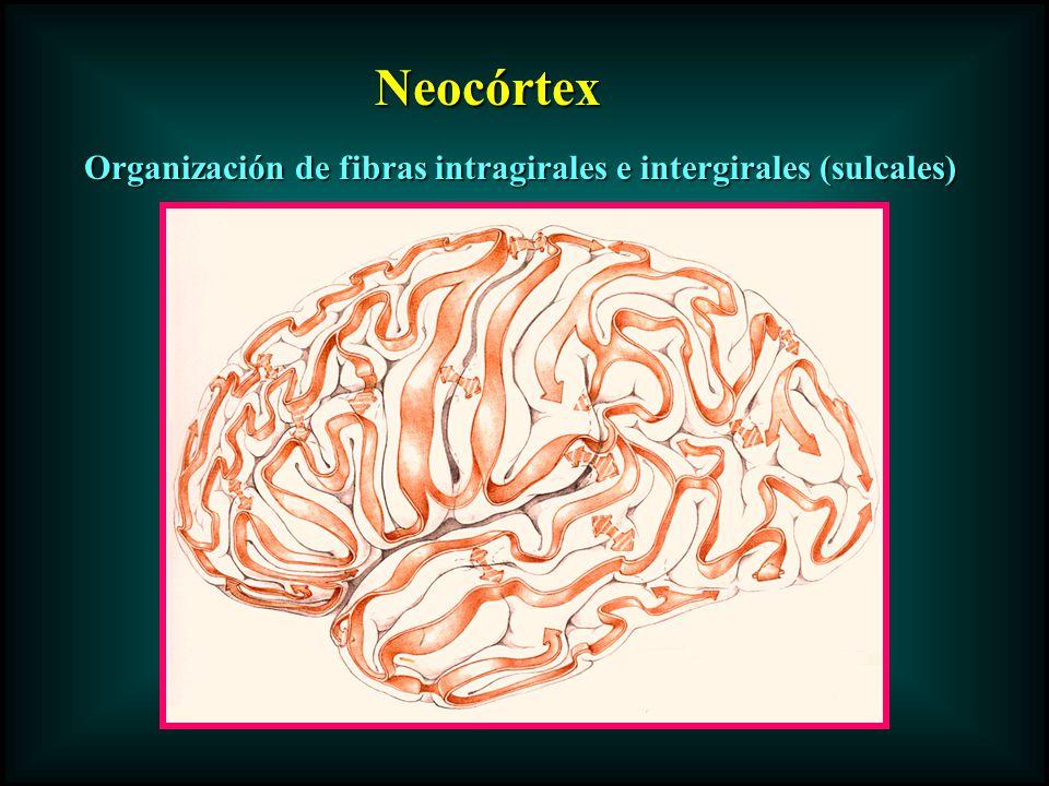 Organización de fibras intragirales e intergirales (sulcales) Neocórtex