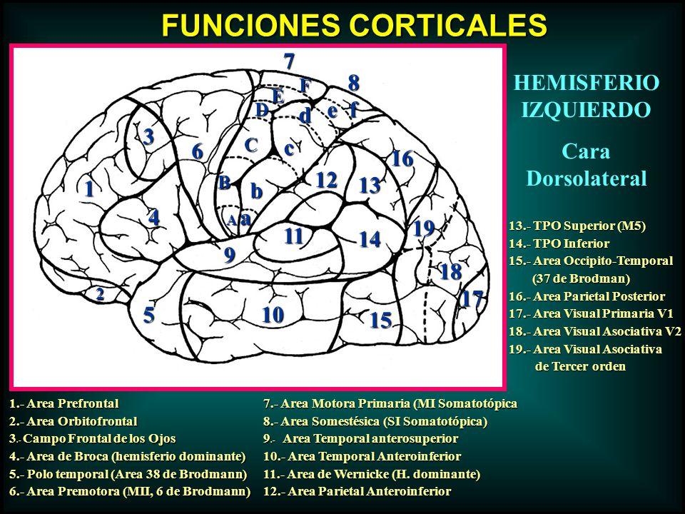 1 2 3 4 6 5 7 8 9 10 11 12 13 14 15 16 17 18 19 a A b B cC d D e E f F FUNCIONES CORTICALES 1.- Area Prefrontal 2.- Area Orbitofrontal 3.- Campo Front