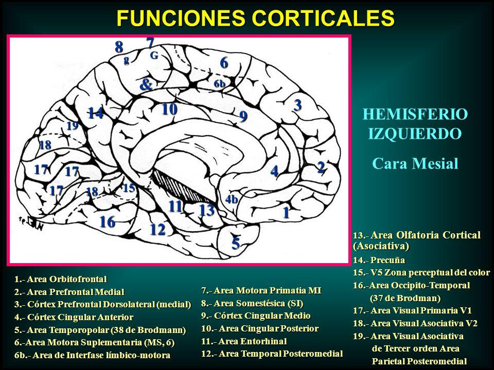 FUNCIONES CORTICALES 5 6 3 2 18 17 16 15 14 9 7 8 4b 12 11 13 10 19 1 18 17 17 1.- Area Orbitofrontal 2.- Area Prefrontal Medial 3.- Córtex Prefrontal