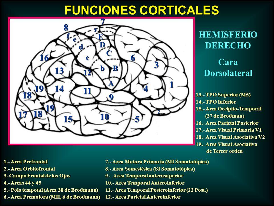 FUNCIONES CORTICALES 1.- Area Prefrontal 2.- Area Orbitofrontal 3.- Campo Frontal de los Ojos 4.- Areas 44 y 45 5.- Polo tempotal (Area 38 de Brodmann