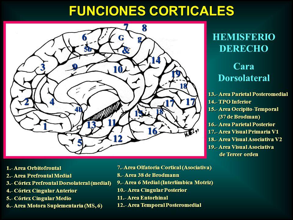 1.- Area Orbitofrontal 2.- Area Prefrontal Medial 3.- Córtex Prefrontal Dorsolateral (medial) 4.- Córtex Cingular Anterior 5.- Córtex Cingular Medio 6