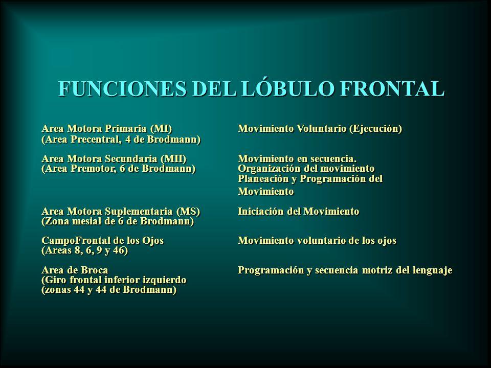 FUNCIONES DEL LÓBULO FRONTAL Area Motora Primaria (MI)Movimiento Voluntario (Ejecución) (Area Precentral, 4 de Brodmann) Area Motora Secundaria (MII)M