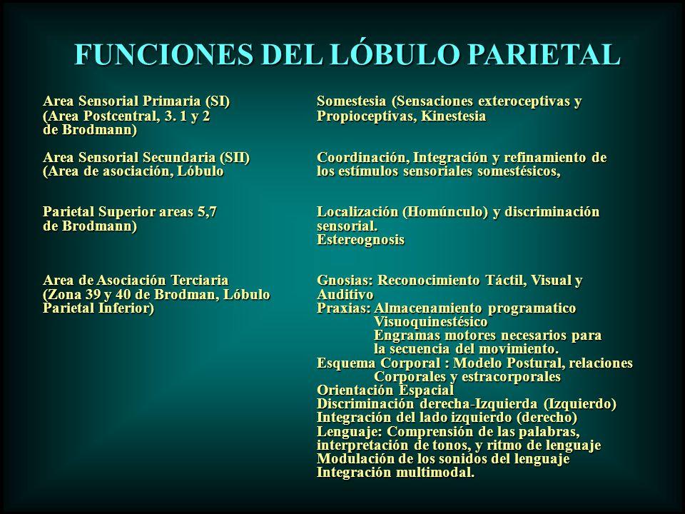 FUNCIONES DEL LÓBULO PARIETAL FUNCIONES DEL LÓBULO PARIETAL Area Sensorial Primaria (SI)Somestesia (Sensaciones exteroceptivas y (Area Postcentral, 3.