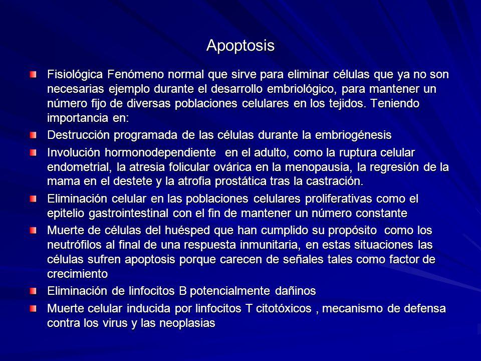 Apoptosis Fisiológica Fenómeno normal que sirve para eliminar células que ya no son necesarias ejemplo durante el desarrollo embriológico, para manten