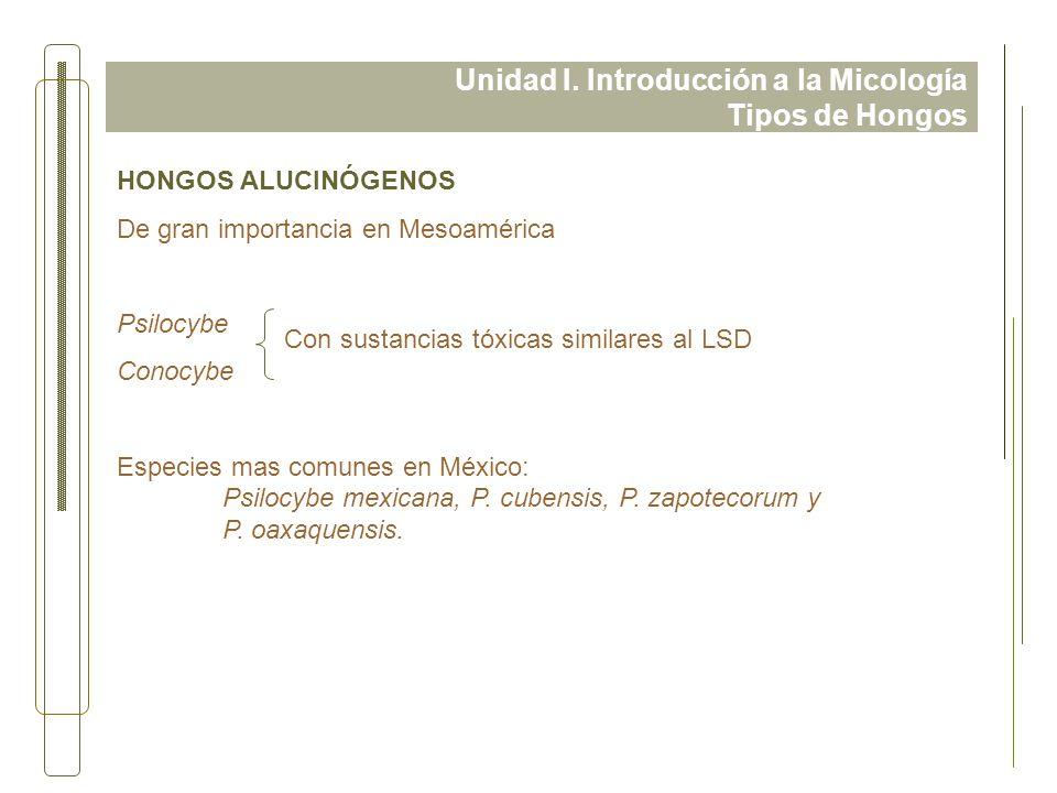 Unidad I. Introducción a la Micología Tipos de Hongos HONGOS ALUCINÓGENOS De gran importancia en Mesoamérica Psilocybe Conocybe Especies mas comunes e