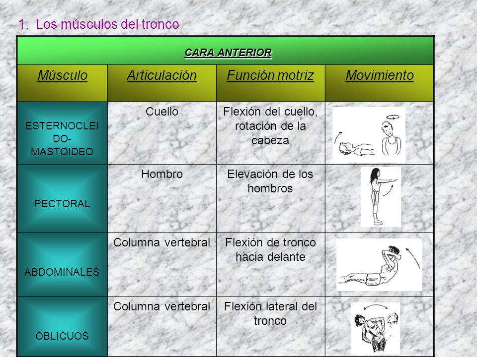 1.Los músculos del tronco CARA ANTERIOR MúsculoArticulaciónFunción motrizMovimiento ESTERNOCLEI DO- MASTOIDEO CuelloFlexión del cuello, rotación de la