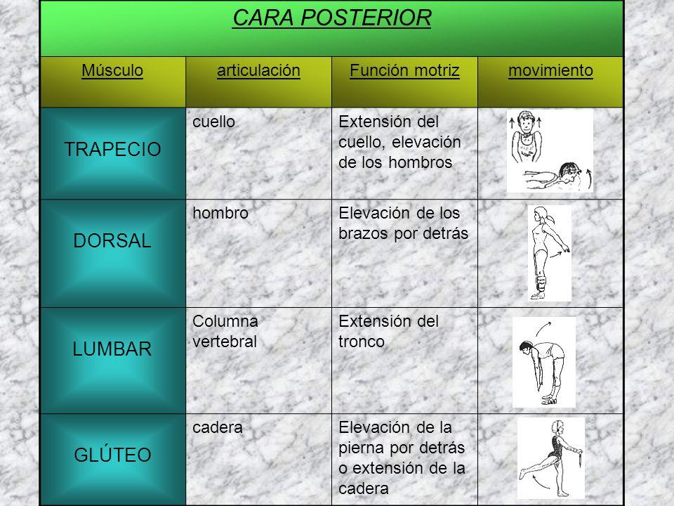 CARA POSTERIOR MúsculoarticulaciónFunción motrizmovimiento TRAPECIO cuelloExtensión del cuello, elevación de los hombros DORSAL hombroElevación de los